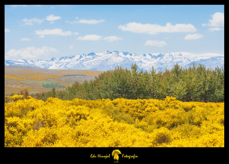 Sierra de Gredos, piorno en flor.