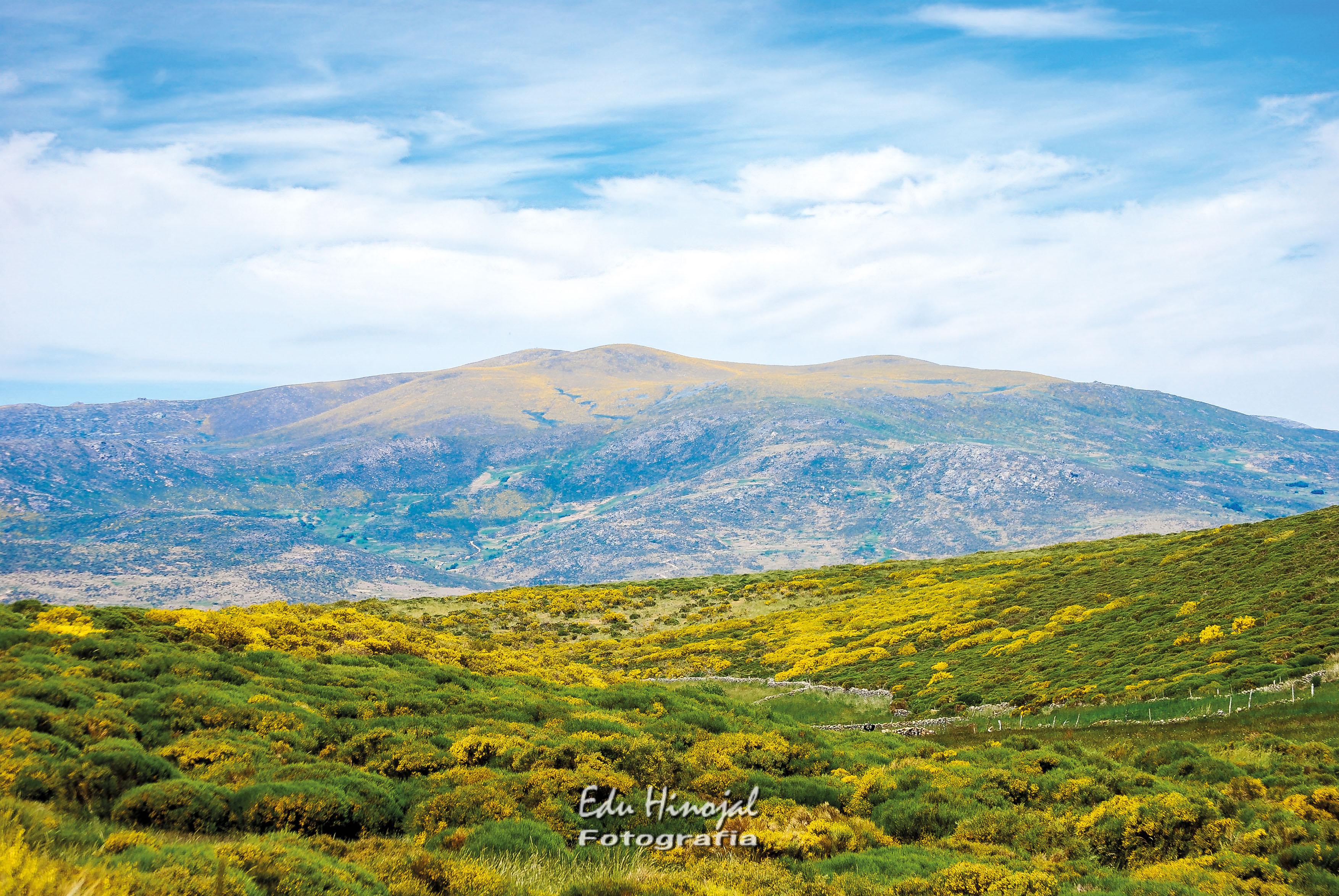 Piornos en flor Sierra de Gredos